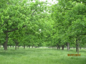 Pecan orchard in pecan bloom at Little Eva Plantation