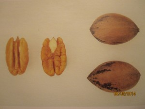 Views of Pecan Nuts and Shell