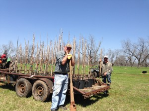 Bucket pecan trees at Little Eva Plantation loaded and ready to be transplanted