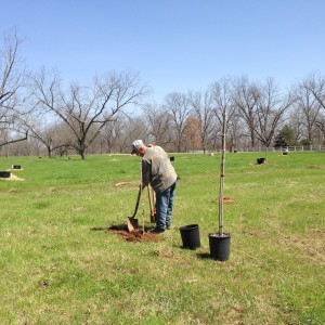 Working topsoil around young pecan trees