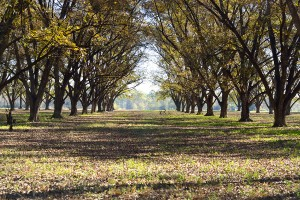 Growing And Managing A Pecan Orchard