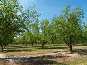 Maintaining A Pecan Orchard Involves Far More Than Just Harvesting The Pecans