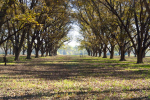 Planting Your Own Pecan Tree