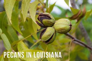 Why Pecans In Louisiana Are Sought After